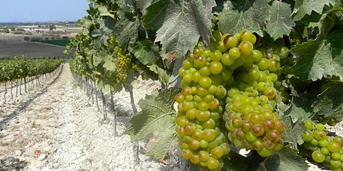 Marabino, vigne