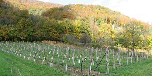 Jura, vigne