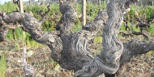 Etna, Src vigne centenarie