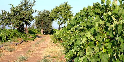 Calabretta-vigne